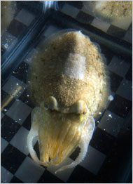 cuttlefishcamouflage.jpg